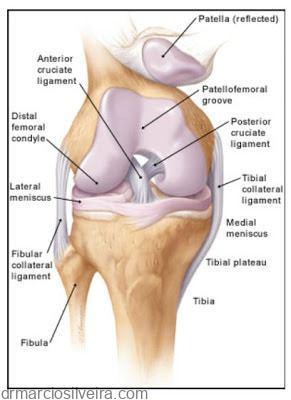 articulação do joelho demonstrando os ligamentos cruzados
