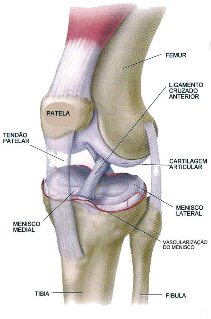 anatomia do joelho - meniscos